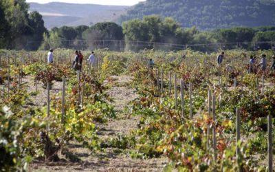 Enoturismo Peñafiel: Ribera del Duero finaliza la vendimia 2020.